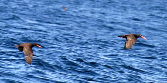 Black Oystercatchers - Haematopus bachmani