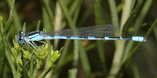 Arroyo Bluet - Enallagma praevarum
