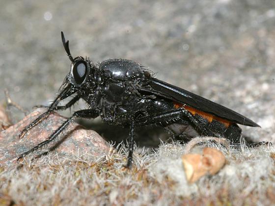 Ospriocerus sp.