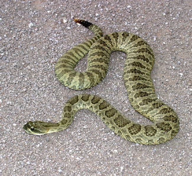 Texas garden snakes garden ftempo - Garden grove dog and cat hospital ...