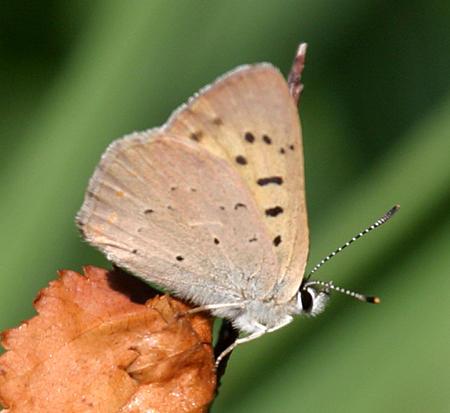 Dorcas Copper - Lycaena dorcas
