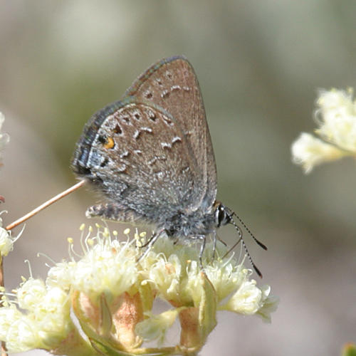 Behrs Hairstreak - Satyrium behrii