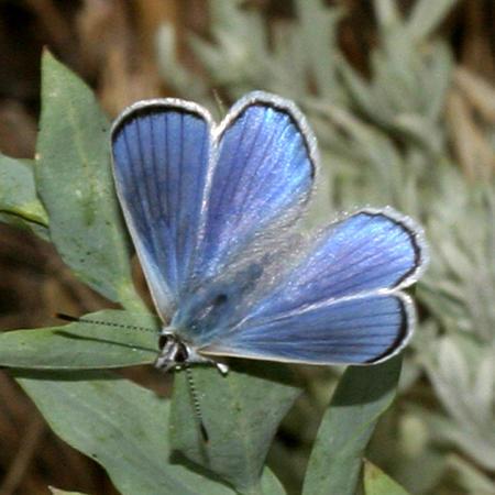 Blue Copper - Lycaena heteronea (male)