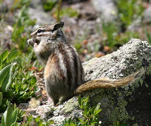 Colorado Chipmunk - Tamias quadrivittatus