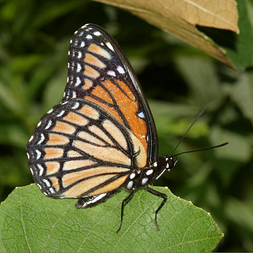 Viceroy - Limenitis archippus