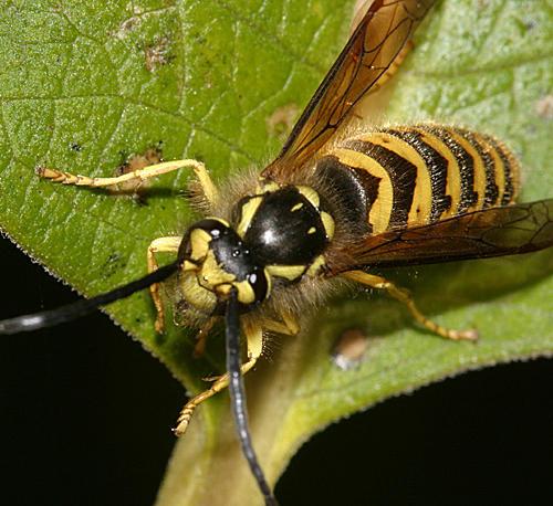 Vespula flavopilosa (male Downy Yellowjacket)