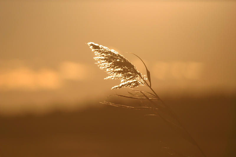 Marsh grass at dusk