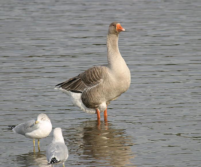 Greylag Goose - Anser anser (domestic)