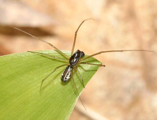Neriene radiata (male)