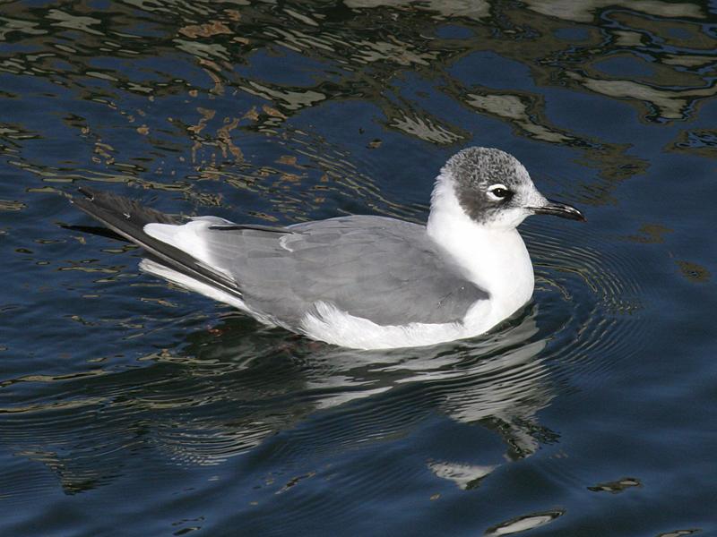 Franklins Gull - Larus pipixcan