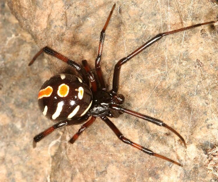 subadult male Northern Black Widow - Latrodectus variolus
