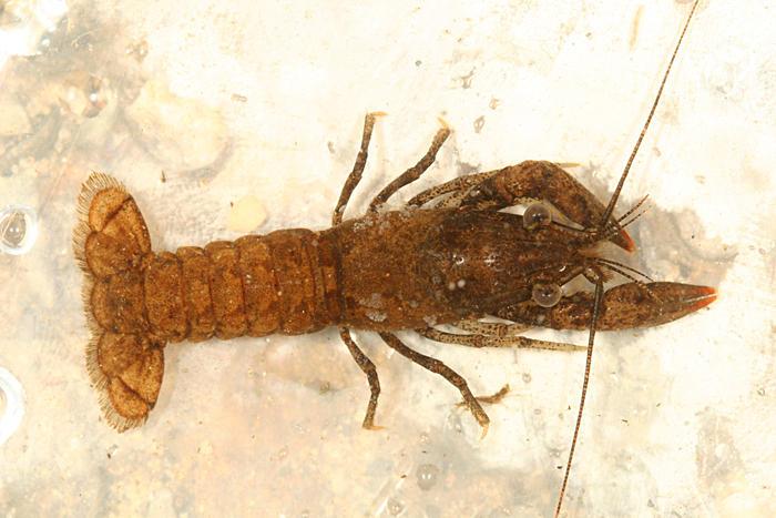 Crayfish - Orconectes sp.