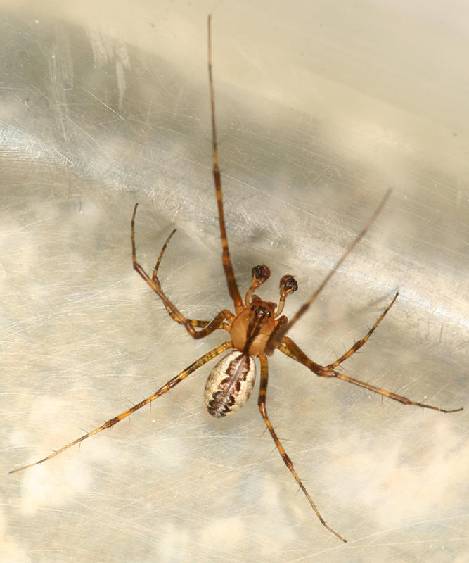Pityohyphantes costatus