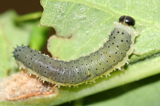 Symphyta sp.