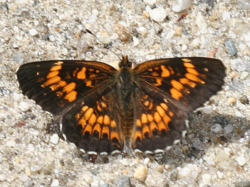 Harris Checkerspot - Chlosyne harrisii