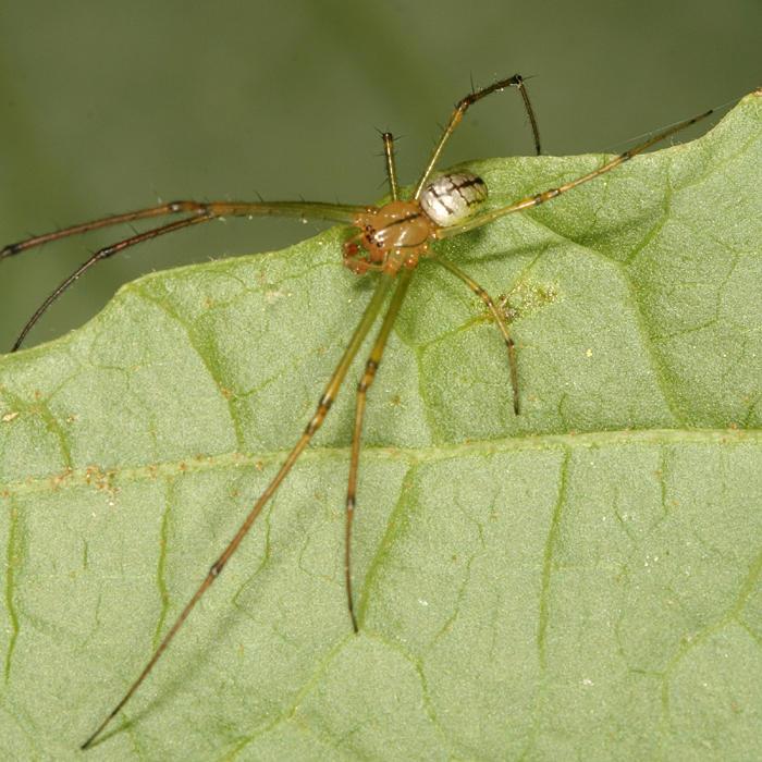 Orchard Spider - Leucauge venusta (male)