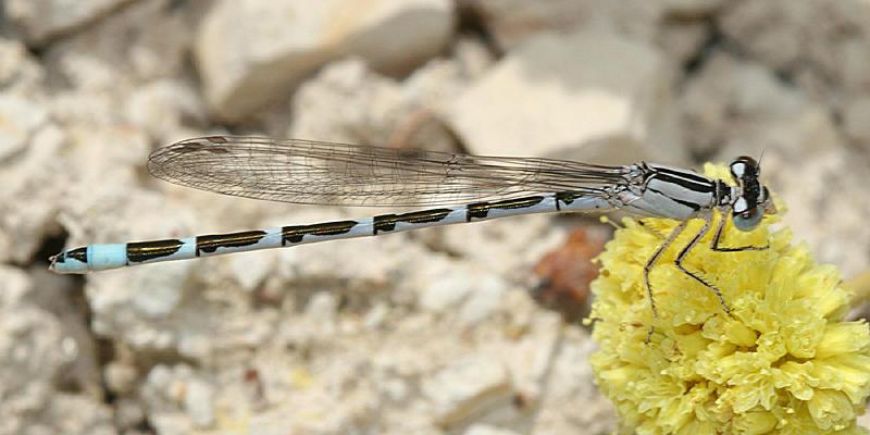 Alkali Bluet - Enallagma clausum (female)