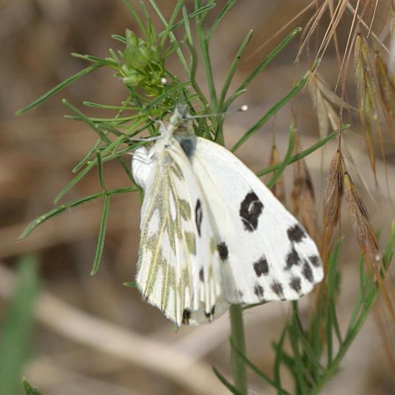 Beckers White - Pontia beckerii