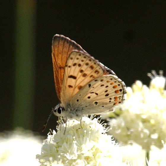 male Gorgon Copper - Lycaena gorgon