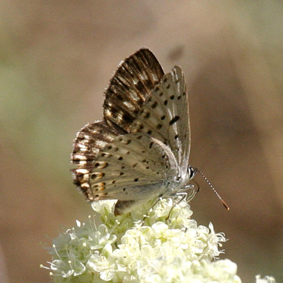 female Gorgon Copper - Lycaena gorgon