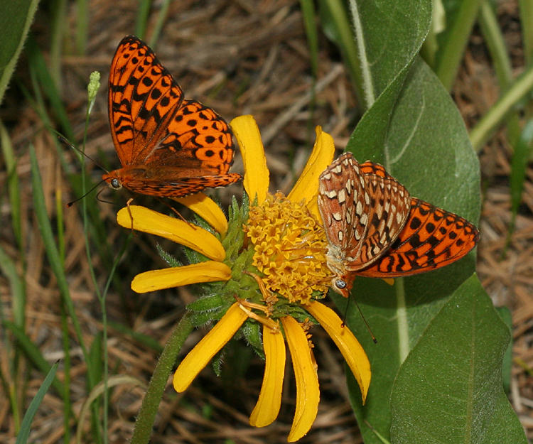 Hydaspe Fritillaries - Speyeria hydaspe