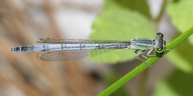 Western Forktail - Ischnura perparva (female)