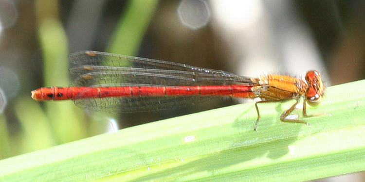Western Red Damsel - Amphiagrion abbreviatum