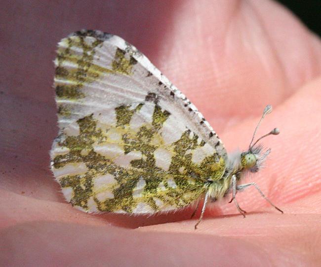 California Marble - Euchloe hyantis