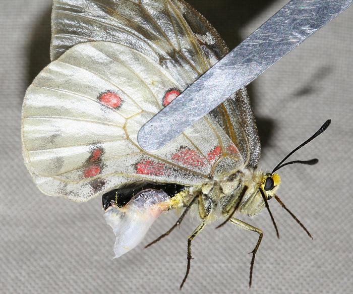 female Clodius Parnassian with a mating plug - Parnassius clodius