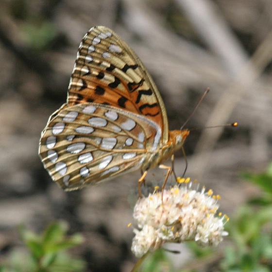Coronis Fritillary - Speyeria coronis