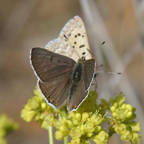male Ediths Copper - Lycaena editha