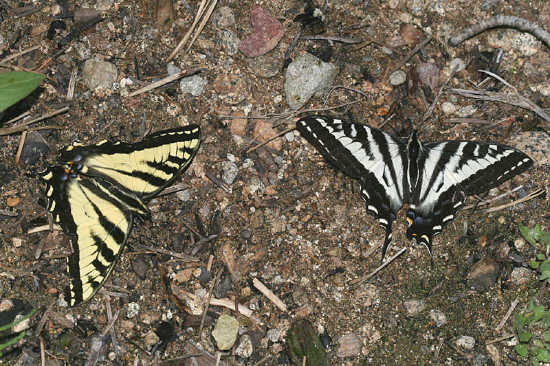Western - Papilio rutulus, and Pale Tiger Swallowtails - Papilio eurymedon