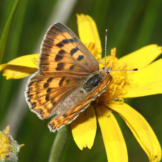 female Purplish Copper - Lycaena helloides