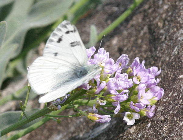 male Western White - Pontia occidentalis