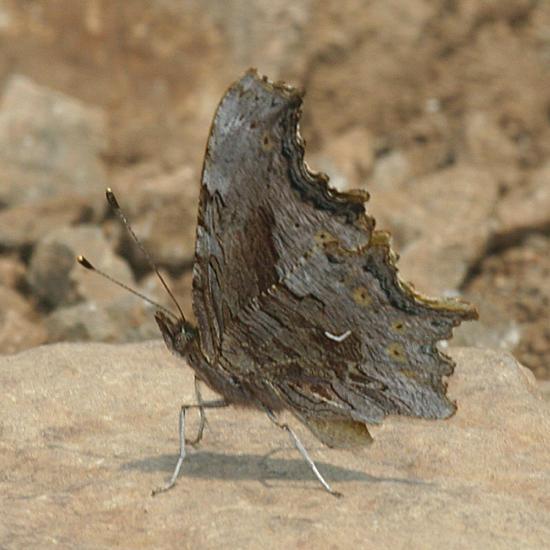 Hoary Comma - Polygonia gracilis
