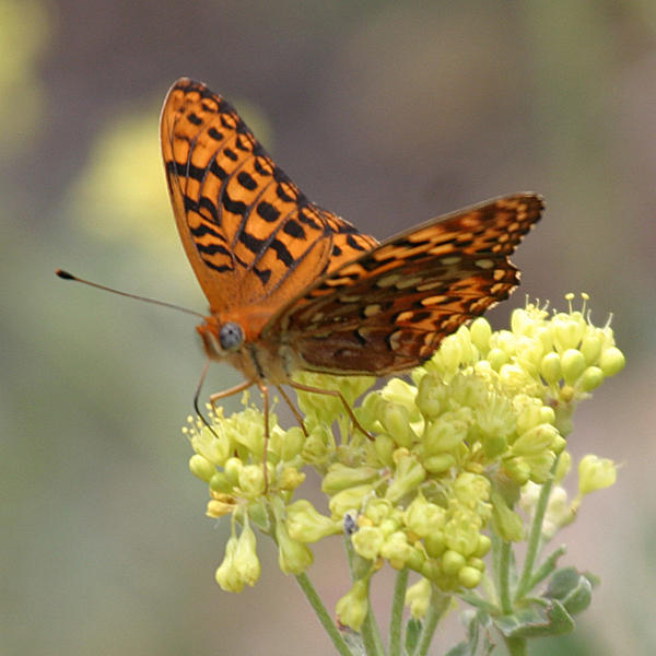 Zerene Fritillary - Speyeria zerene