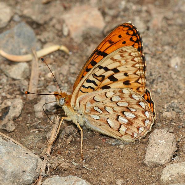 Great Basin Fritillary - Speyeria egleis