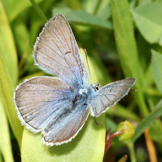 male Greenish Blue - Plebejus saepiolus