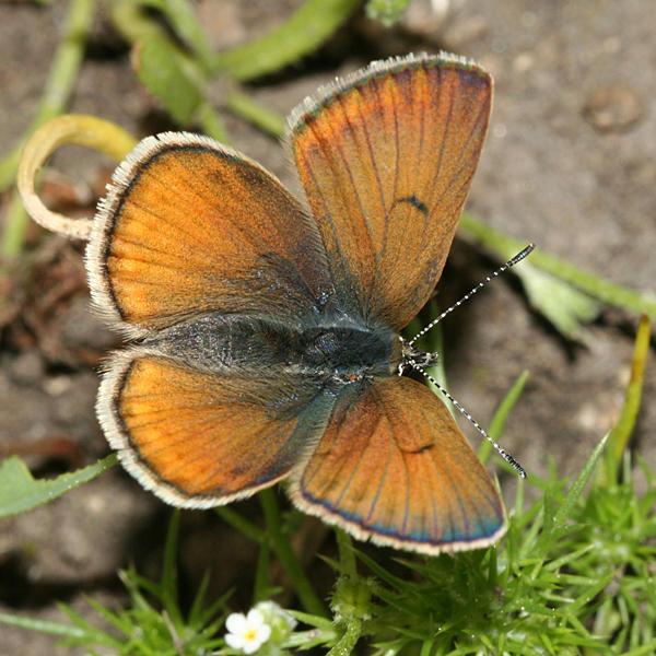 female Greenish Blue - Plebejus saepiolus
