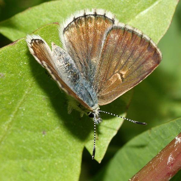 male Lilac-bordered Copper - Lycaena nivalis