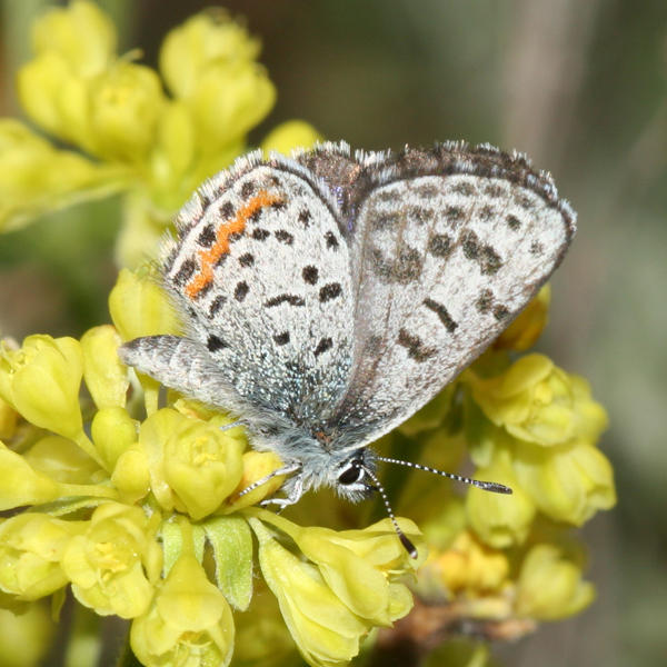 Pacific Dotted Blue - Euphilotes enoptes