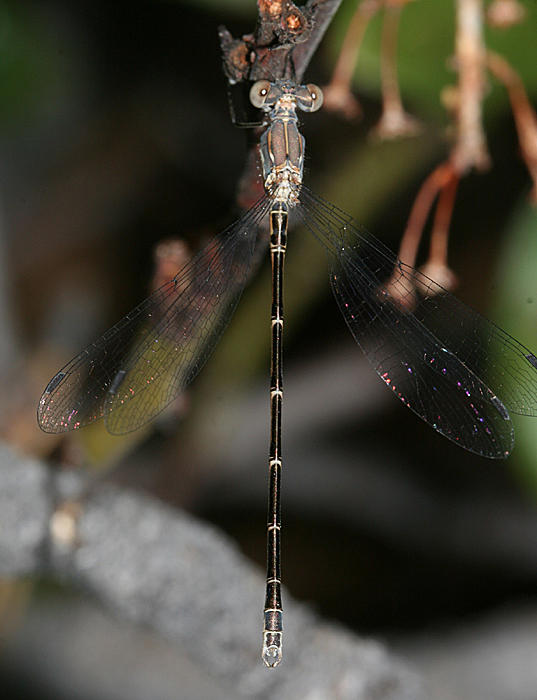 Spotted Spreadwing - Lestes congener