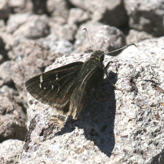 Mexican Cloudywing - Thorybes mexicana