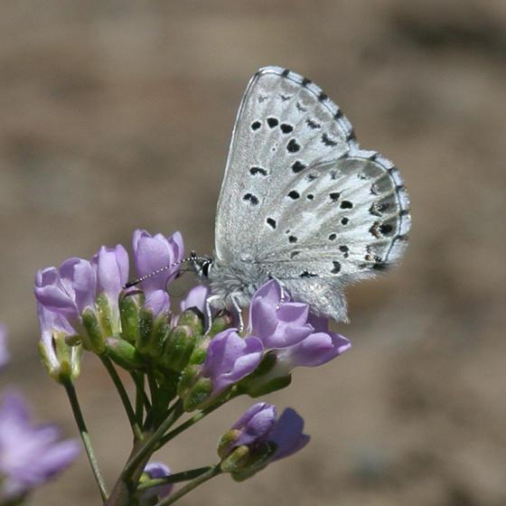 Arrowhead Blue - Glaucopsyche piasus