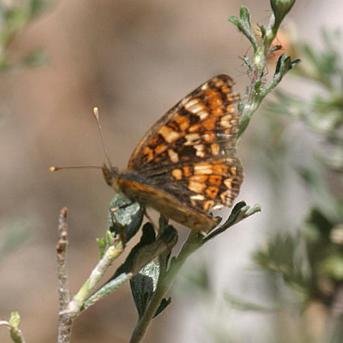 female California Crescent - Phyciodes orseis
