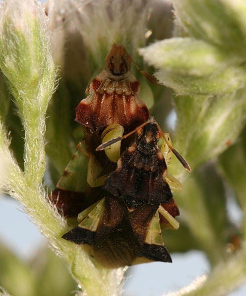 Mating Jagged Ambush Bugs - Phymata pennsylvanica