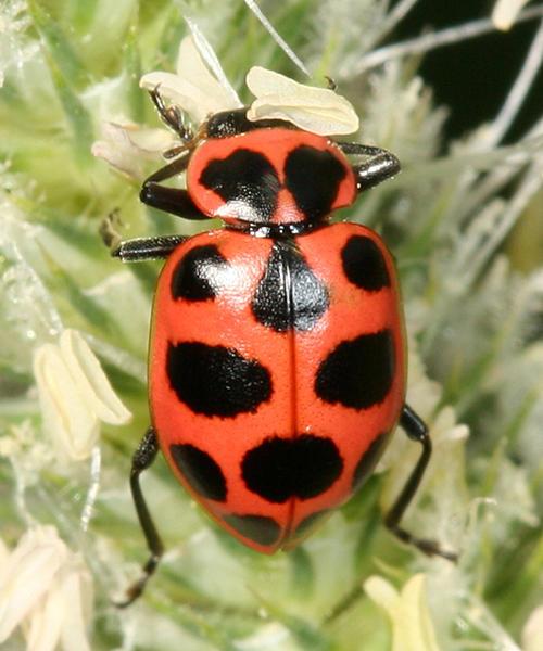 Spotted Lady beetle - Coleomegilla maculata