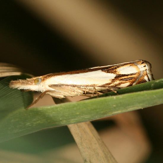Double-banded Grass-veneer moth - Crambus agitatellus