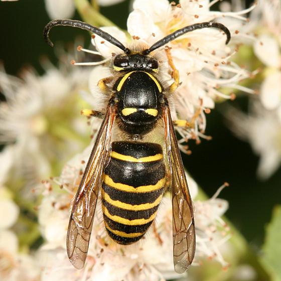 Dolichovespula norvegicoides (Northern Aerial Yellowjacket)