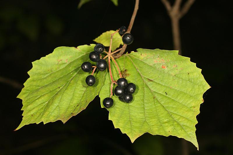Mapleleaf Viburnum - Viburnum acerifolium